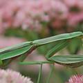 Praying Mantis by Paul Mencke