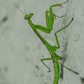 Praying Mantis by Robert Edgar