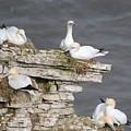 Precarious Nesting Bempton Gannets by Mo Barton