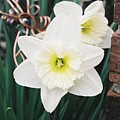 Precious Daffodils by Cheryl Vatcher-Martin