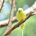 Precious Little Yellow Parakeet In The Wild by DejaVu Designs