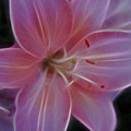 Precious Pink Lily by Joann Copeland-Paul