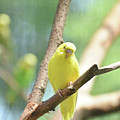 Precious Yellow Budgie Parakeeet In The Wild by DejaVu Designs