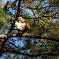 Preening Bald Eagle by Warrena J Barnerd