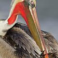 Preening Pelican by Bryan Keil