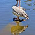 Preening Pelican by Phyllis Denton