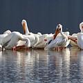 Preening Pelicans by Angela Koehler