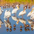 Preening Primping Pelicans by Franz Gisin
