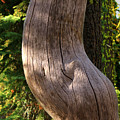Pregnant Tree by James Eddy