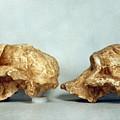 Prehistoric Skulls by Granger