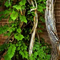 Preston Wall Vine by Norman Andrus