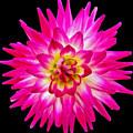 Prettiest In Pink by Jilian Cramb - AMothersFineArt