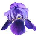 Prettiest Purple Iris by Marsha Heiken