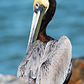 Pretty As A Pelican by Mike Fitzgerald