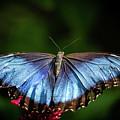 Pretty Blue Morpho Butterfly by Sabrina L Ryan
