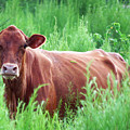 Pretty Brown Cow  by Mario Carta