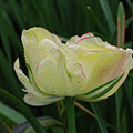 Pretty Cream Colored Tulip Edged In Red With Dew by DejaVu Designs