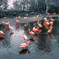 Pretty Flamingoes by Joan-Violet Stretch