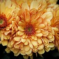 Pretty Golden Mums by Patricia Strand