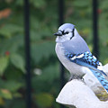 Pretty In Blue Jay by Diane Lindon Coy