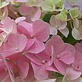 Pretty In Pink Hydrangeas by Linda Covino