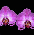 Pretty In Pink Phalaenopsis Orchids by Susan Wiedmann