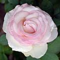 Pretty In Pink Rose by Karen Sturgill