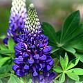 Pretty In Purple by Clarice  Lakota