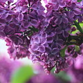 Pretty In Purple by Gralyn Haller
