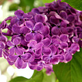 Pretty Lilac Bush by Lena Photo Art