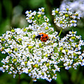 Pretty Little Ladybug by Mariola Bitner