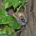Pretty Morpho Butterfly Resting In A Butterfly Garden  by DejaVu Designs