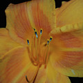Pretty Orange Daylily Flowering With Pollen On It's Stamen by DejaVu Designs