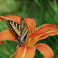 Pretty Orange Lily With A Butterfly On It's Petals by DejaVu Designs