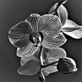 Pretty Orchid Bw by Jeremy Hayden