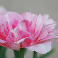 Pretty Pale Pink Parrot Tulip Flower Blossom by DejaVu Designs