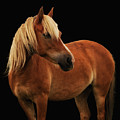 Pretty Palomino Pony by Habile Photography