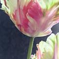 Pretty Parrot Tulip 2 by Jill Greenaway