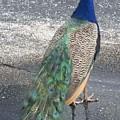 Pretty Peacock by Jim Ferro