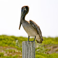 Pretty Pelican by Marilyn Hunt
