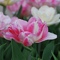 Pretty Pink And White Striped Ruffled Parrot Tulips by DejaVu Designs