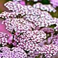 Pretty Pink by Danielle Sigmon