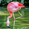 Pretty Pink Flamingo by Anthony Murphy