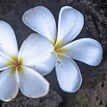 Pretty Plumeria by Robin Krueger
