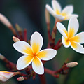 Pretty Plumerias by Mandy Wiltse