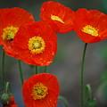 Pretty Poppy by Lori Tambakis