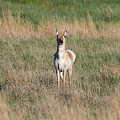 Pretty Pronghorn On The Plains by Tony Hake