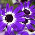 Pretty Purple Daisies by Sabrina L Ryan