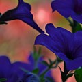 Pretty Petunias by Terri LeSaint-Keller