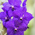 Pretty Purple Phalaenopis by Sabrina L Ryan